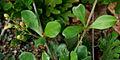 Mollugo pentaphylla is it with Selaginella bryopteris W IMG 3586.jpg