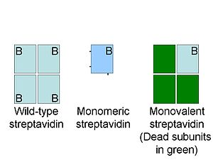 Streptavidin - Schematic comparing monovalent and monomeric streptavidin