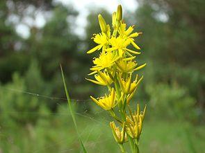 Blütenstand des Beinbrechs (Narthecium ossifragum)