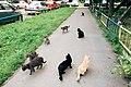 Moscow, 3rd Novoostankinskaya Street. Cat invasion (20626998693).jpg