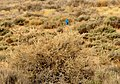 Mountain bluebird on Seedskadee NWR 01 (13904936757).jpg