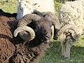 Moutons d'Ouessant à Comper (Concoret) 01.jpg