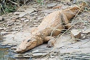 Bhor Saidan - Mugger crocodile