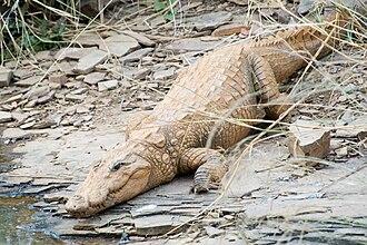 Mugger crocodile - Image: Mugger crocodile Crocodylus palustris (2155269175)