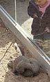 Mungos mungo at the Denver Zoo-2012 03 12 0611.jpg