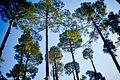 Murree Trees.jpg