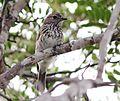 Muscicapa boehmi, Longa, Birding Weto, a.jpg