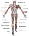 Muscle posterior.png