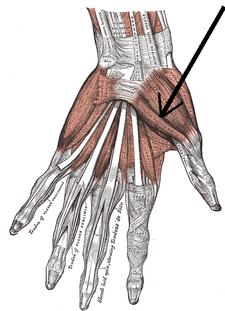 musculus flexor pollicis brevis