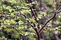 Myrciaria cauliflora 28zz.jpg