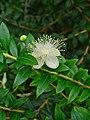 Myrtus communis 002.JPG