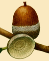 NAS-011f Quercus prinoides acorn.png