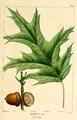 NAS-028f Quercus rubra.png
