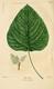 NAS-097 Populus heterophylla.png