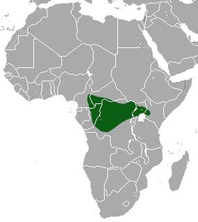Butiaba naked-tailed shrew Species of mammal