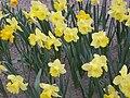 Narcissus (Best Seller cultivar), Real Jardín Botánico, Madrid.jpg