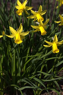 Narcissus cyclamineus 'Garden Princess' 02.jpg