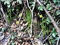 Narcissus munozii-garmendiae Habitus 180109 SierraMadrona.jpg