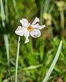 Narcissus poeticus in Causse Comtal (2).jpg