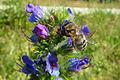 Natternkopf mit Mauerbiene.jpg