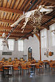 Naturalis Biodiversity Center - Museum - Workshop - Lecture hall, killer whale skeleton suspended from ceiling.jpg