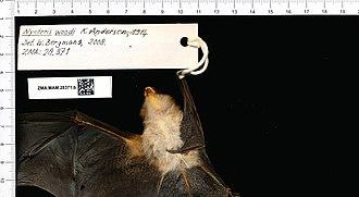 Wood's slit-faced bat - Image: Naturalis Biodiversity Center ZMA.MAM.28371.b reg Nycteris woodi skin