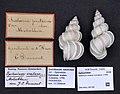 Naturalis Biodiversity Center - ZMA.MOLL.347109 - Epitonium scalare (Linnaeus, 1758) - Epitoniidae - Mollusc shell.jpeg