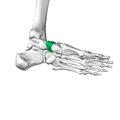Navicular bone15.png