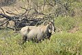 Neelgai Boselaphus tragocamelus by Dr. Raju Kasambe DSCN7671 (1).jpg