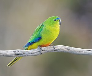 Orange-bellied parrot - Female