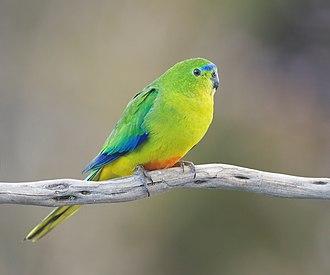Orange-bellied parrot - Female
