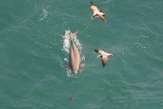 Finless porpoise - Finless porpoise in Namhae