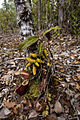 Nepenthes rafflesiana with Dischidia.jpg