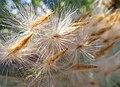 Nerium oleander Oleander seeds IMG 1661tr (7714581808).jpg