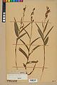Neuchâtel Herbarium - Cephalanthera rubra - NEU000046822.jpg