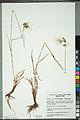 Neuchâtel Herbarium - Eriophorum latifolium - NEU000099180.jpg
