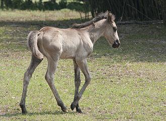 Cumberland Island horse - A Cumberland foal