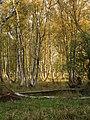 Niedersachsen, Naturschutzgebiet Moore bei Buxtehude, Birkenwäldchen, WDPA ID 378124.jpg