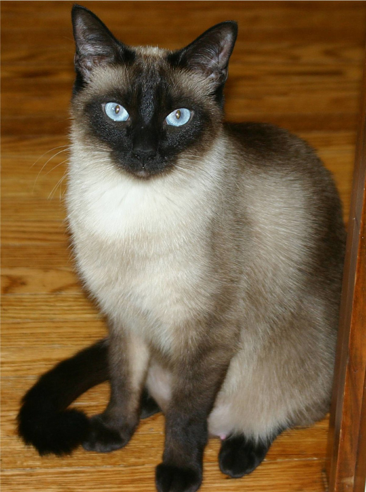 Siamese cat Wiktionary