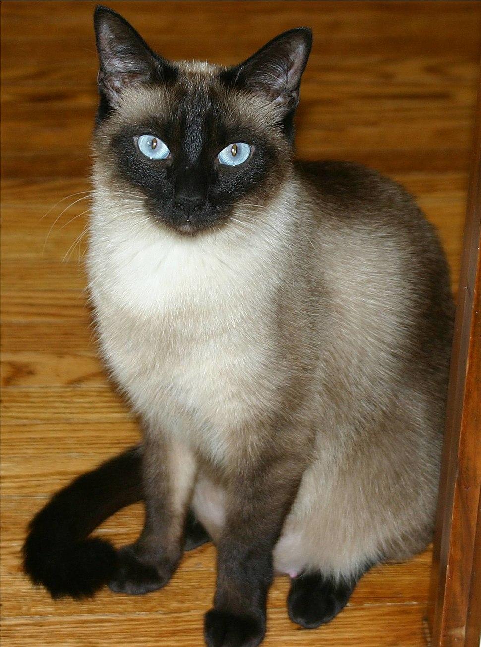 Niobe050905-Siamese Cat.jpeg