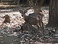 Nisargadhama deer3.jpg