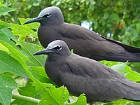 Noddies in Foliage.jpg