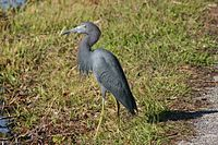 Nonbreeding Adult Little Blue Heron.jpg