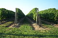 North Fork - Vineyards 03.jpg
