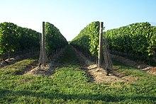 Photographie montrant des rangs de vigne rognés au cordeau.