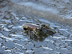 Northern Crayfish, Rideau River 1.jpg