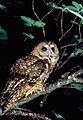 Northern Spotted Owl (8434205776).jpg