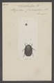 Nosodendron - Print - Iconographia Zoologica - Special Collections University of Amsterdam - UBAINV0274 018 09 0003.tif