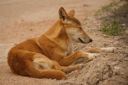 Nullarbor Dingo