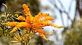 Nuytsia floribunda flower close up.jpg